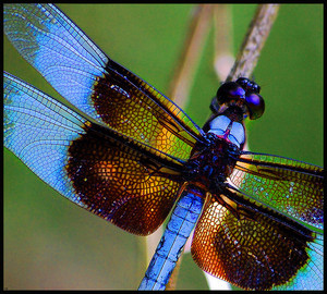 DragonflyDi